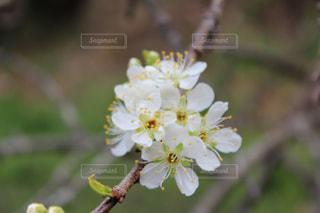 花,桜,屋外,白,花見,樹木,2020年,草木,ブルーム,ブロッサム,梅林公園,フローラ