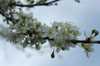 空,花,春,桜,白,花見,関東,草木,ブルーム,ブロッサム,梅林公園