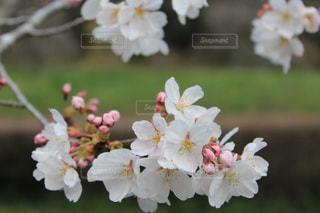 花,春,桜,白,花見,景色,たくさん,関東,草木,ブルーム,ブロッサム,梅林公園,フローラ