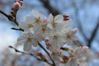 花,春,青空,関東,草木,桜の花,さくら,ブルーム,開花,ブロッサム,梅林公園