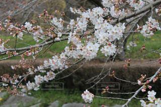花,春,桜,枝,川辺,花見,景色,たくさん,関東,草木,開花,ブロッサム,梅林公園
