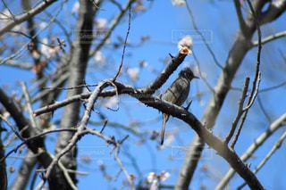風景,空,春,桜,動物,鳥,野生動物,屋外,青空,枝,葉,樹木,草木,城山公園