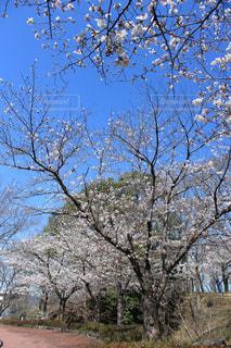 空,花,春,屋外,散歩,青い空,花見,景色,樹木,草木,桜の花,さくら,散策,ブロッサム