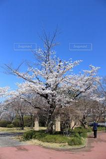 女性,1人,空,公園,花,春,屋外,散歩,樹木,健康,草木,桜の花,日中,老人,さくら,ライフ,ブロッサム