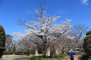 女性,空,公園,花,春,屋外,散歩,景色,樹木,運動,草木,桜の花,日中,老人,さくら,ブロッサム
