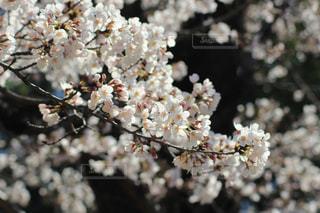 花,春,花見,景色,満開,樹木,草木,3月,桜の花,さくら,ブロッサム,城山公園