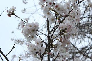 空,花,春,屋外,白,枝,花見,満開,樹木,草木,さくら,ブルーム,開花,ブロッサム