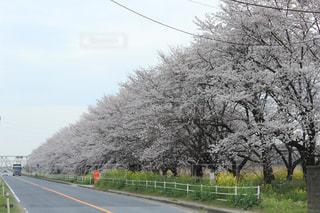 風景,空,花,春,屋外,道路,花見,桜並木,草,樹木,道,通り,日中,ブロッサム