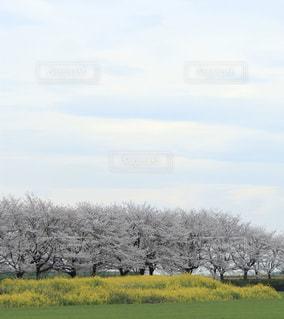 自然,空,桜,屋外,雲,菜の花,花見,桜並木,景色,満開,草,樹木,2020年,草木,3月,日中