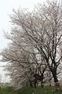 桜,花見,桜並木,満開