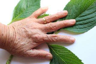 緑の葉の上の老人の手の写真・画像素材[4325998]