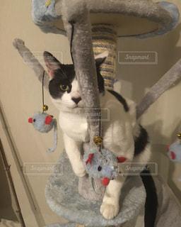 キャットタワーで遊ぶ猫の写真・画像素材[2294366]