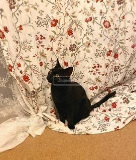 カーテンと猫の写真・画像素材[3315185]