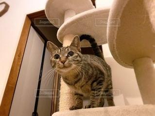 キジトラ猫の写真・画像素材[3364907]