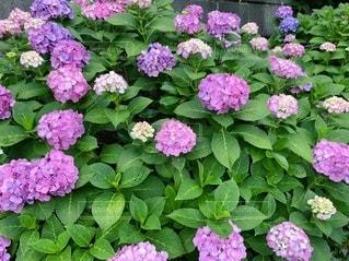 紫陽花の写真・画像素材[3386285]