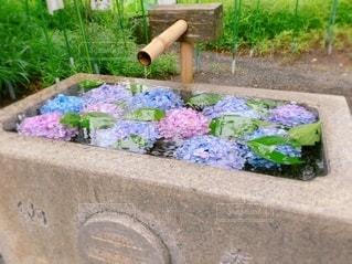 紫陽花を浮かべた手水鉢の写真・画像素材[3411555]