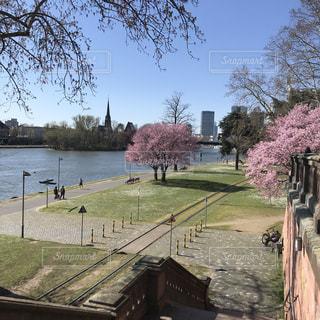 空,公園,花,春,桜,屋外,川,ヨーロッパ,草,樹木,ドイツ,川沿い,フランクフルト,マイン川