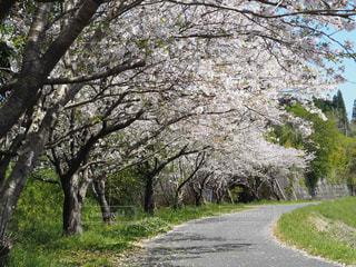春,樹木,さくら