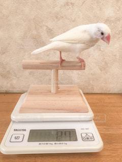 少し減ったか気になる文鳥の写真・画像素材[2330720]