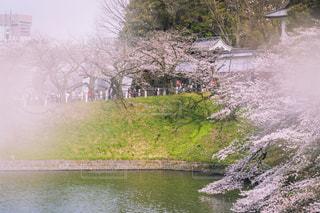 花,桜,屋外,川,水面,花見,樹木,お堀,草木