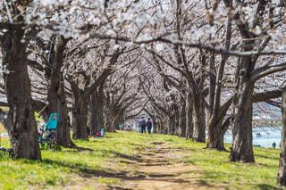 家族,恋人,2人,花,春,桜,森林,屋外,花見,桜並木,満開,草,樹木,お花見,並木道