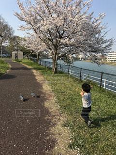 子ども,桜,青空,散歩,鳩,レジャー,お散歩,お出かけ