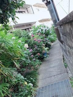 風景,花,屋外,紫陽花,歩道,石,散歩道,草木