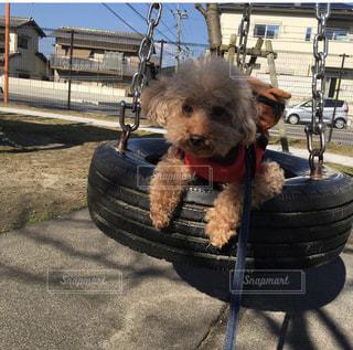 犬,散歩,トイプードル,小型犬