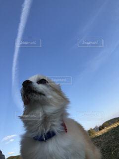 犬,チワワ,飛行機雲,フォトジェニック