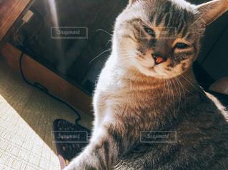 カメラを見ている猫の写真・画像素材[2296214]