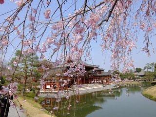 空,花,春,屋外,京都,水辺,樹木,平等院鳳凰堂,桜の花,さくら,ブロッサム