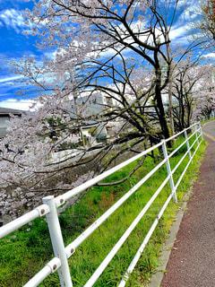 風景,空,桜,綺麗,桜並木,日本,街中