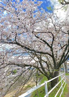 風景,空,桜,綺麗,桜並木,日本,街中,肌