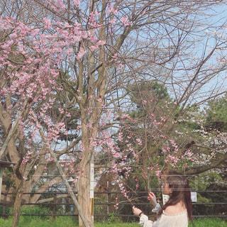 桜の写真・画像素材[2315214]