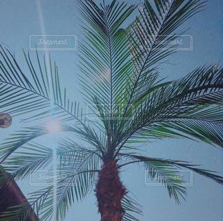 空,太陽,光,樹木,ヤシの木,ココナッツ,草木,パーム