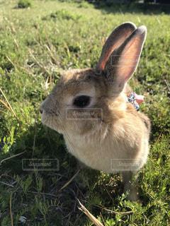 動物,うさぎ,屋外,散歩,草,ネザーランドドワーフ,ウサギ,バニー