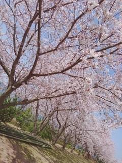 桜の写真・画像素材[2393737]
