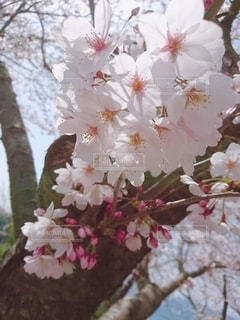 おすまし桜の写真・画像素材[2393735]