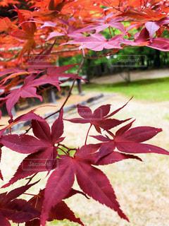 手招く秋の写真・画像素材[2514739]