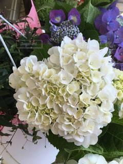 花,屋外,植物,白,あじさい,花嫁,ハート,紫陽花,しろ,純白,マーク,アジサイ,ブライダル,ジューンブライド
