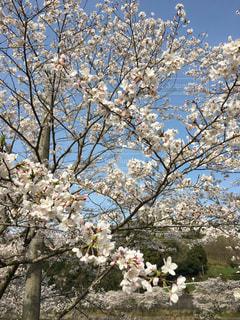 空,花,春,屋外,青い空,満開,樹木,草木,桜の花,さくら,ブルーム,ブロッサム