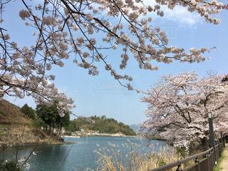 空,花,春,屋外,湖,青空,水面,水辺,池,桜並木,景色,満開,樹木,並木道,草木,桜の花,さくら,ブロッサム