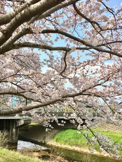 空,公園,花,春,橋,屋外,青空,川,景色,満開,草,樹木,川沿い,草木,桜の花,さくら