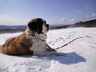 犬,冬,雪,晴れ,青空,散歩,山