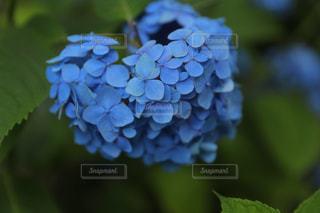 花,かわいい,あじさい,青,お花,ハート,あお,はーと