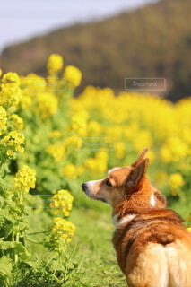 春,動物,屋外,菜の花,草,コーギー,お花とわんこ