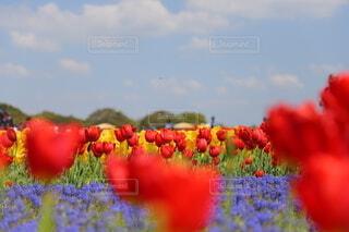 春,かわいい,お花,チューリップ,春の写真