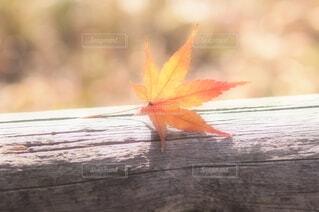 ふわっと 光 オレンジ 紅葉 もみじの写真・画像素材[3845113]
