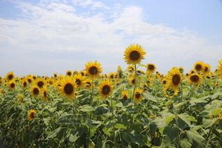 ひまわり畑の写真・画像素材[3505379]