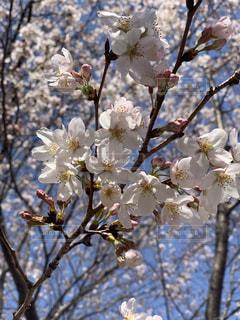 花,春,枝,樹木,桜の花,さくら,ブルーム,ブロッサム